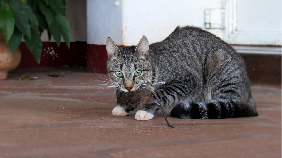 cats are the best diy rat repellent money can buy