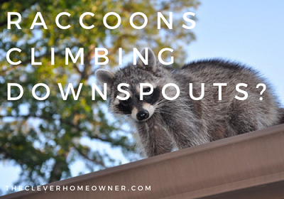 prevent raccoons climbing gutter downspout