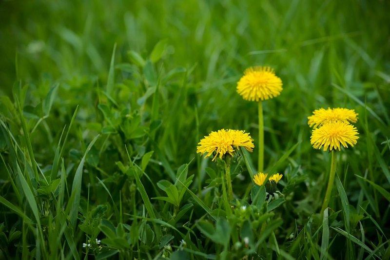 dandelion weeds in green grass