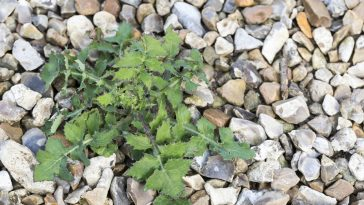 how to prevent weed growing in gravel